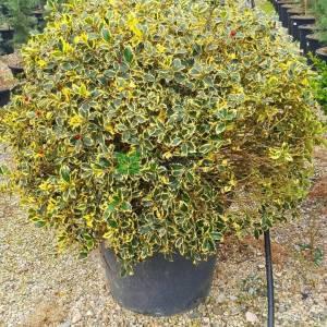 Çoban püskülü sarı-yeşil yapraklı top formlu - Ilex aquifolium aurea marginata ball (AQUIFOLIACEAE)