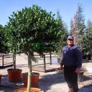 Çoban püskülü pırnal yapraklı top formlu - Ilex nellie R. stevens half tige (AQUIFOLIACEAE)