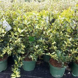 Sarı yeşil yapraklı çoban püskülü - Ilex aquifolium white cream (AQUIFOLIACEAE)