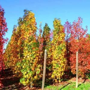 Amerikan küre çiçekli gün sığlası, Kızaran Amber ağacı sütun formlu - Liquidambar styraciflua slender silhouette (ALTINGIACEAE)