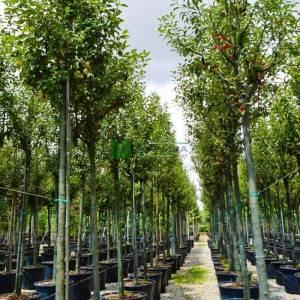 Beyaz çiçekli Japon süs elması ağaç formlu , Çiçek elması,Yengeç süs elması - Malus x robusta red sentinel tige (ROSACEAE)