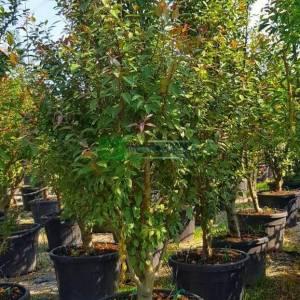 Japon süs elması çalı formlu, Çiçek elması, Yengeç süs elması - Malus × red sentinel multistem (ROSACEAE)