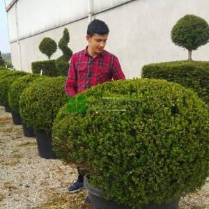 Amerikan şimşiri şekilli top formlu - Buxus sempervirens rotundifolia (BUXACEAE)