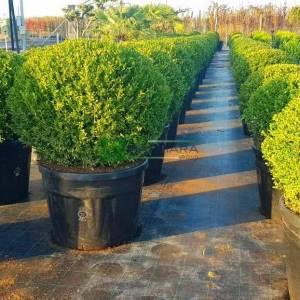 Amerikan şimşiri şekilli top formlu - Buxus microphylla rotundifolia (BUXACEAE)