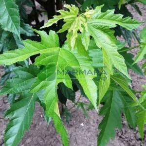 Meyvesiz dut, Peyzaj dutu,Çınar yapraklı dut piramit formlu - Morus alba fruitless pyramid shaped (Morus platanifolia) (MORACEAE)