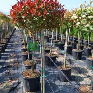 Bodur alev çalısı kısa tijli baston formlu - Photinia fraseri little red half tige standart (ROSACEAE)