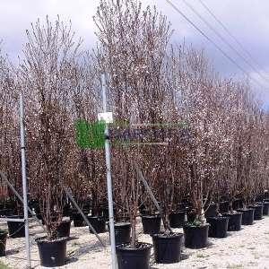 Pembe çiçekli süs eriği alttan dallı çalı formlu - Prunus cerasifera pissardii nigra multistem (ROSACEAE)