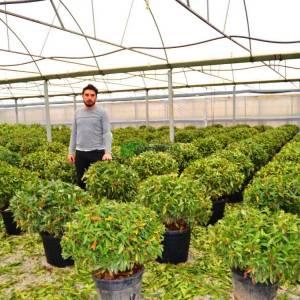 Bodur karayemiş, top formlu karayemiş çalısı - Prunus laurocerasus otto luyken (ROSACEAE)