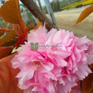 Pembe çiçekli kanzan süs kirazı çok gövdeli sakura - Prunus serrulata kanzan multi stem (ROSACEAE)