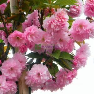 Pembe çiçekli kanzan süs kirazı aşılı tijli piramit formlu sakura - Prunus serrulata kanzan tige pyramid (ROSACEAE)
