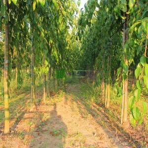 Sarkık süs kirazı sarkık formlu - Prunus serrulata kiku-shidare sakura (ROSACEAE)