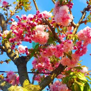 Cheal's weeping cherry, weeping higan cherry kiku shidare sakura