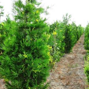 Alaca yapraklı kaliforniya su sediri - Calocedrus (Libocedrus) decurrens aureovariegata (CUPRESSACEAE)