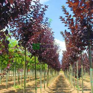 süs kirazı kırmızı yapraklı - Prunus virginiana canada red (ROSACEAE)