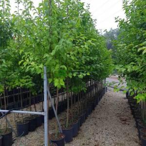 Çin Süs armudu ağacı kırmızı yapraklı sonbahar - Pyrus calleryana chanticleer redspire (ROSACEAE)