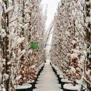 Yaprak döken sütun formlu saplı meşe, Pelit, Palamut ağacı, Meşe palamudu - Quercus robur fastigiata (FAGACEAE)