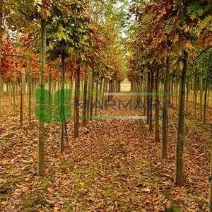 Saçlı meşe, Türkiye meşesi, Avrasya meşesi - Quercus cerris tige (FAGACEAE)