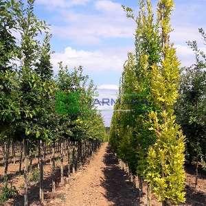 Bataklık meşesi sütun formlu - Quercus palustris green pillar (FAGACEAE)