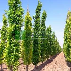 Yaprak döken sütun formlu saplı meşe, Pelit, Palamut ağacı, Meşe palamudu - Quercus robur fastigiata koster (FAGACEAE)