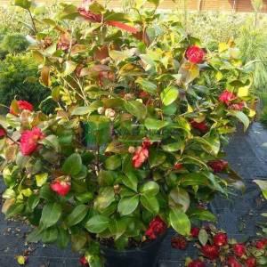 Kamelya, Japon kamelyası, Kış gülü, Kamelya çiçeği - Camellia japonica (THEACEAE)