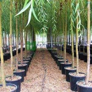 Sarı dallı salkım söğüt, Sarı söğüt, ağlayan söğüt - Salix alba tristis (SALICACEAE)