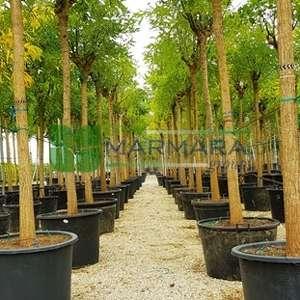 Japon soforası, Pagoda ağacı, bilgin ağcı - Sophora japonica regent (LEGUMINOSAE)
