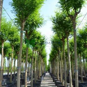 Japon soforası, Pagoda ağacı, bilgin ağacı - Sophora japonica (LEGUMINOSAE)