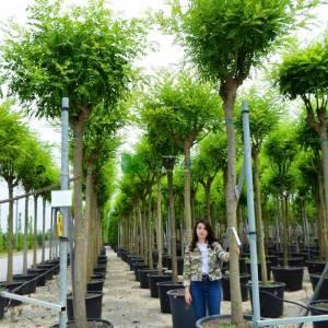 Japon soforası, Pagoda ağacı, bilgin ağacı - Sophora (Stypholbium japonicum) japonica (LEGUMINOSAE)