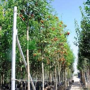 Kuş üvezi, Ovaz, Ayı ovazı, kül ağacı - Sorbus aucuparia (ROSACEAE)