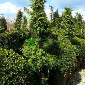 Boylu mazı, Batı sediri, Amerikan sediri spiral formlu - Thuja plicata spiralle hedge (CUPRESSACEAE)