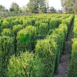 Boylu mazı, Batı sediri, Amerikan sediri küp formlu - Thuja plicata cube hedge (CUPRESSACEAE)
