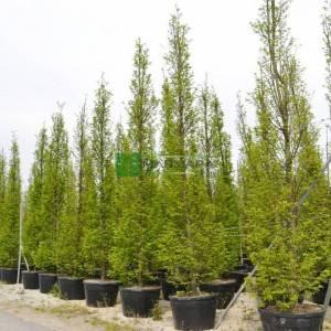 Sütun formlu aşılı kara gürgen, aşılı gürgen - Carpinus betulus