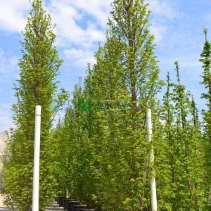 Sütun formlu aşılı kara gürgen, aşılı gürgen - Carpinus betulus fastigiata (BETULACEAE)