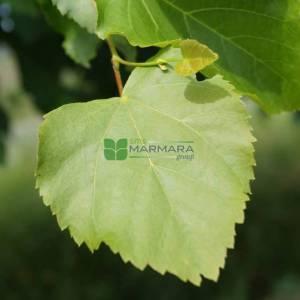 Büyük yapraklı ıhlamur,geniş yapraklı ıhlamur - Tilia platyphyllos örebro (TILIACEAE)
