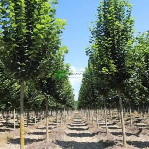 Büyük yapraklı sütun formlu aşılı yaz ıhlamuru, Kokulu ıhlamur - Tilia platyphyllos fastigiata (TILIACEAE)