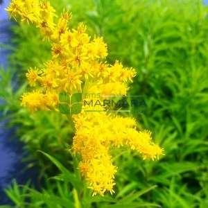 Altınbaşak otu, Altın Asa, Altın Başak, Yahudi otu,Ölmez Çiçek - Solidago officinalis (ASTERACEAE)