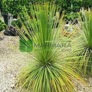 Yucca,İspanyol süngü,hançer yukka kırmızı,sabun ağacı,sabun otu - Yucca elata (AGAVACEAE)