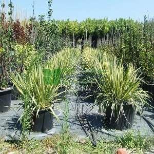 Yuka, Yukka, Avize çiçeği,Ademin iğnesi,Kaşık yaprağı,iğneli palmiye, sarı yeşil yapraklı - Yucca filamentosa variegata (AGAVACEAE)