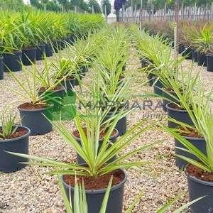 Eğri Yaprak Yucca, Sarkık, Ağlayan Yucca, İspanyol Hançer, Höyük zambağı, Yucca, Yumuşak Uçlu Yucca - Yucca gloriosa variegata (AGAVACEAE)