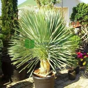 Gagalı Yucca, Mavi yukka, Avize çiçeği,Ademin iğnesi,Kaşık yaprağı,iğneli palmiye - Yucca rostrata (AGAVACEAE)