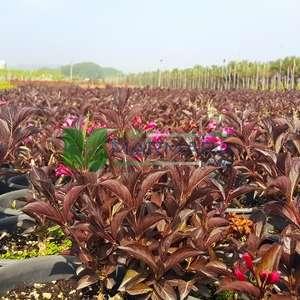 Gelin tacı, vangelya kırmızı-bordo yapraklı - Weigela florida wine roses (CAPRIFOLIACEAE)
