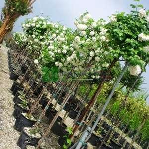 Beyaz çiçekli yaprak döken kartopu tijli baston form - Viburnum opulus tige (CAPRIFOLIACEAE)