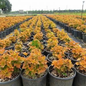 Büyüleyici kartopu, Pelerinli Sargent Kartopu - Viburnum sargentii onondaga (CAPRIFOLIACEAE)