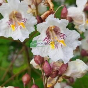 Aşılı beyaz çiçekli Katalpa, Sigara ağacı, Kurtyemez - Catalpa bignonioides (BIGNONIACEAE)