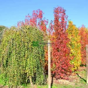 Karaağaç, Küçük Gürgen yapraklı, Aşılı karaağaç, Dağ karaağacı - Ulmus minor pendula (ULMACEAE)