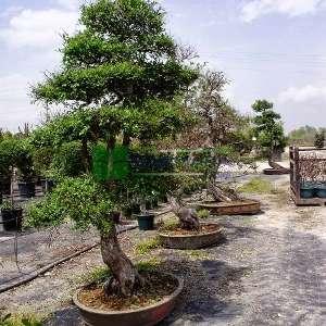 Çin Karaağacı,Aşılı karaağaç,Gürgen yapraklı Karaağaç - Ulmus parvifolia bonsai (ULMACEAE)