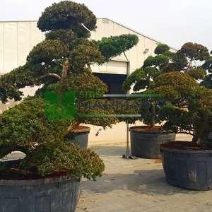 Japon porsuğu bonsai formlu,şekilli - Taxus cuspidata bonsai (TAXODIACEAE)