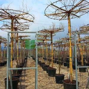 Sarı dallı şemsiye formlu salkım söğüt, Sarı şemsiye söğüt, ağlayan şemsiye söğüt - Salix alba tristis umbrella (SALICACEAE)