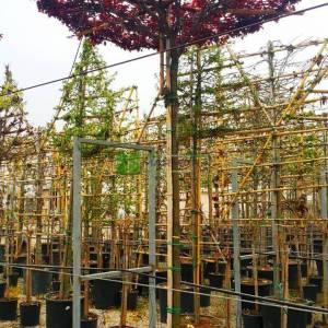 Pembe çiçekli süs eriği şemsiye formlu - Prunus cerasifera pissardii nigra umbrella/tetto shaped (ROSACEAE)