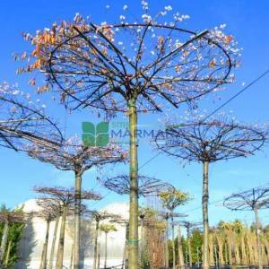Şemsiye formlu aşılı süs kirazı - Prunus x subhirtella autumnalis umbrella/tetto shaped (ROSACEAE)